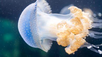 Photo of Jellagen introduce il primo bioinchiostro di medusa per la rigenerazione dei tessuti
